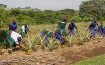 Studens weeding pineapples 2_210x131.jpg